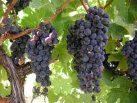 Виноградники в долине Оканаган