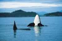 Касатка, черно-белый кит-убийца (Orca)