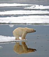 Белый медведь  на льдинах залива