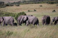 Семья слонов в Масаи Мара