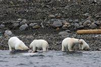 Белые медведи на  побережье острова Фиппсойа