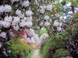 Цветущие рододендроны в Леонардсли (Leonardslee)
