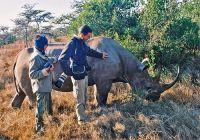 """""""Ручной"""" носорог в заповеднике Sweetwaters"""